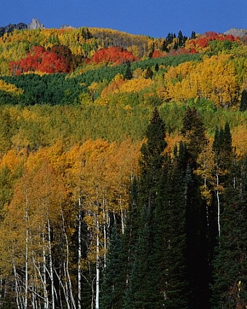 Quaking Red Aspens